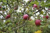 Les belles pommes Calville du jardin, gîte charme normandie calvadis, la Blanchetière