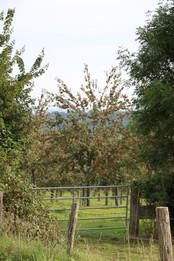 Vue sur la pommeraie bio voisine, gîte charme normandie calvados, la Blanchetière