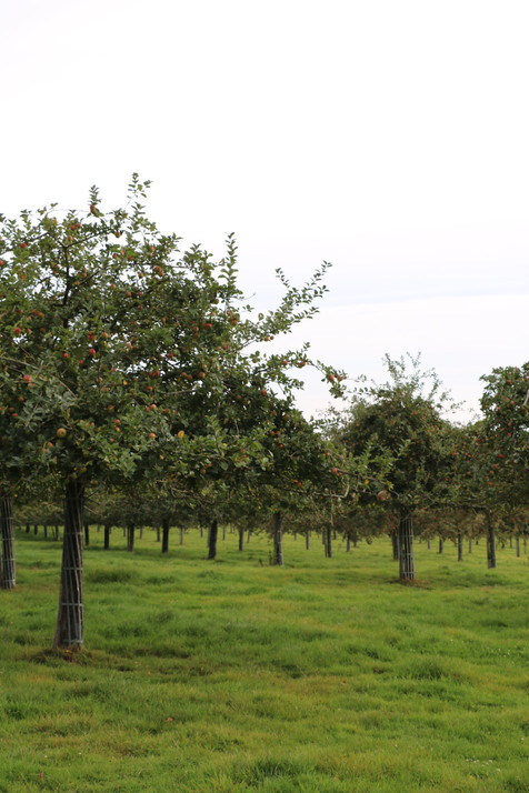 Autre vue sur la pommeraie bio voisine - la blanchetière gîte de charme normandie calvados