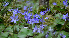 My forest with common hepatica