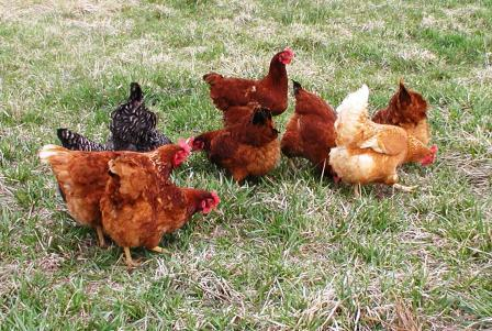 chickens in pasture-small