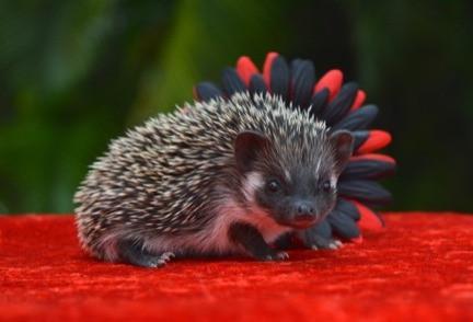 Hedgehog Pet Price >> Patricio Male Price 395