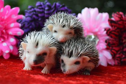 Three Baby Hedgehogs