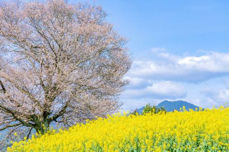 馬場の山桜