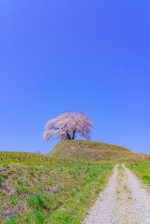 平堂檀の桜
