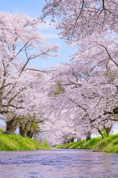 馬渡川の桜