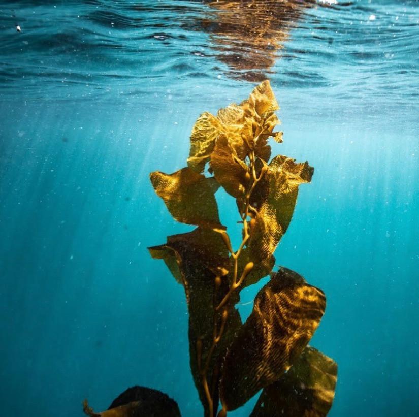 A piece of Macrocystis pyrifera (giant kelp) in the ocean