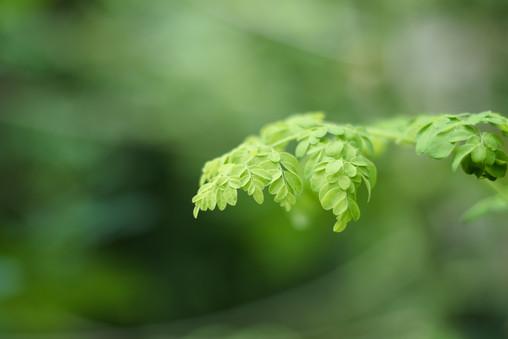 A branch of Moringa Oleifera