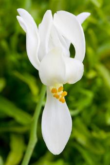 Moringa Oleifera blossums