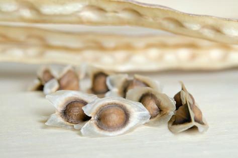 Dried seeds and fruits of Moringa Oleifera