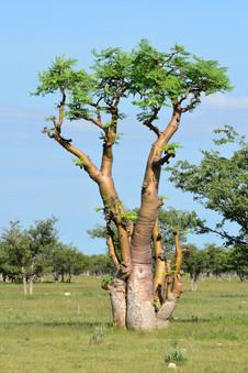 Moringa tree in african savana