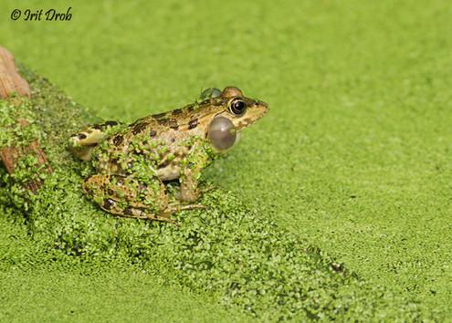 Stream Frog