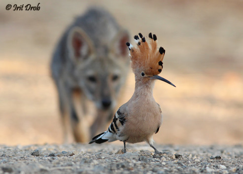 Eurasian Hoopoe & jackal - An image selected for first place in a photography competition and presented at an exhibition at the UN in New York