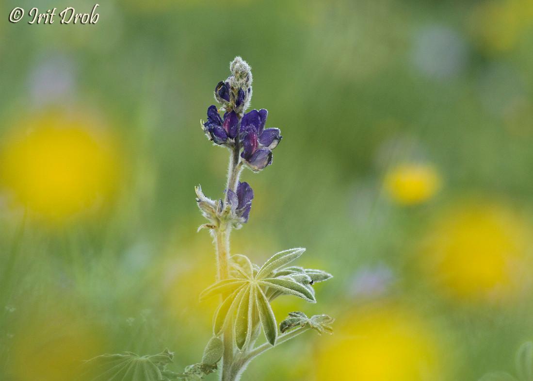 Lupinus pilosus (flowers)