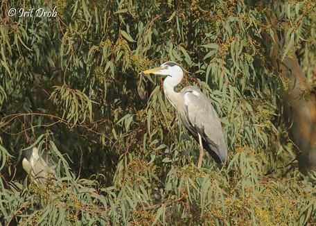 Grey Heron with a piece of plastic stuck to her beak