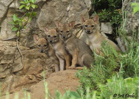 Golden jackal - cubs
