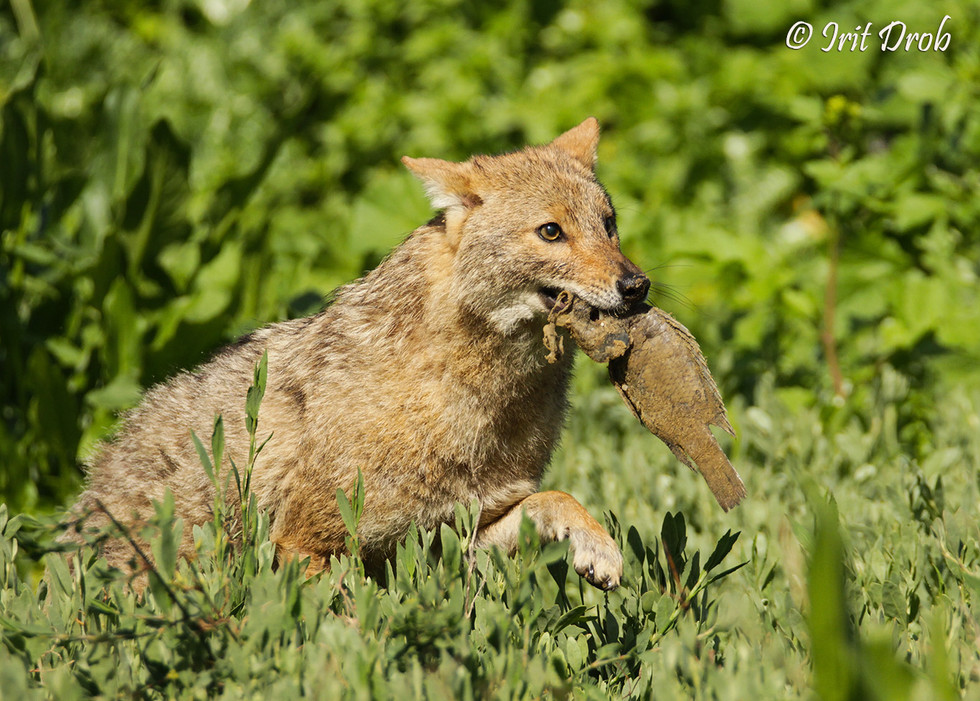 Jackal eating dead fish during the pollution in the Yarkon river