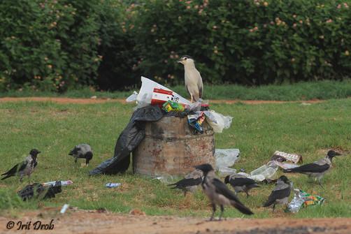 Birds among waste