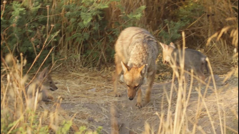 jackal's cubs at Tel Aviv Yarkon Park