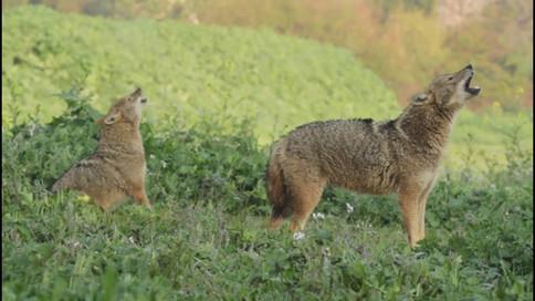 jackals howling at Yarkon Park Tel Aviv