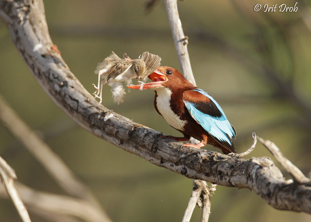 White-throated Kingfisher with Graceful Prinia