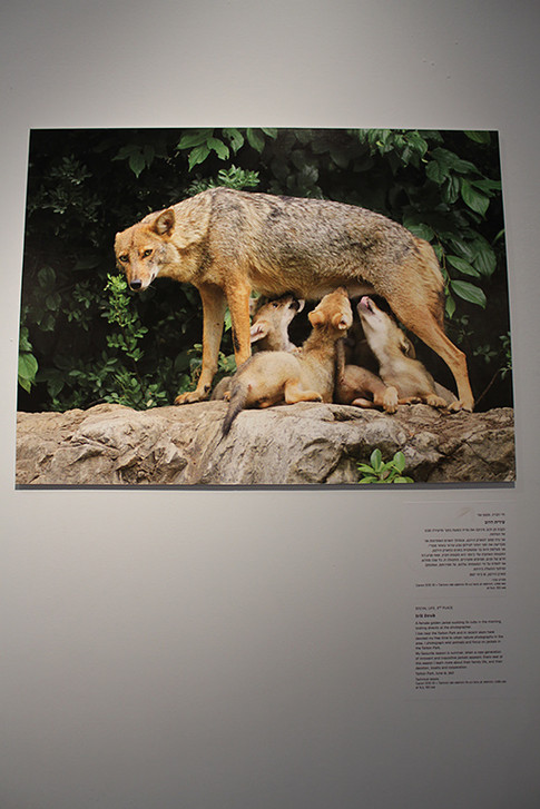 Nature Photo Exhibition: A picture of nature# 5, which is presented alongside the Wildlife Photographer Of The Year 56 exhibition (two photographs were selected to participate in) - Eretz Israel Museum, Tel Aviv (March 2021)