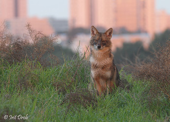 A jackal in the background of the city