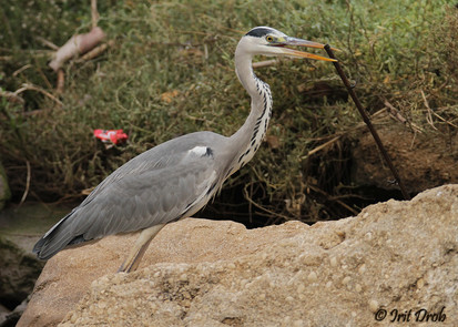 Grey Heron with a rod made of iron in her beak