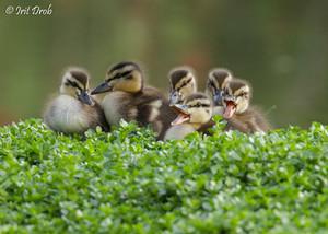 Mallard's Chicks