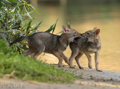 Jackals - cubs are playing