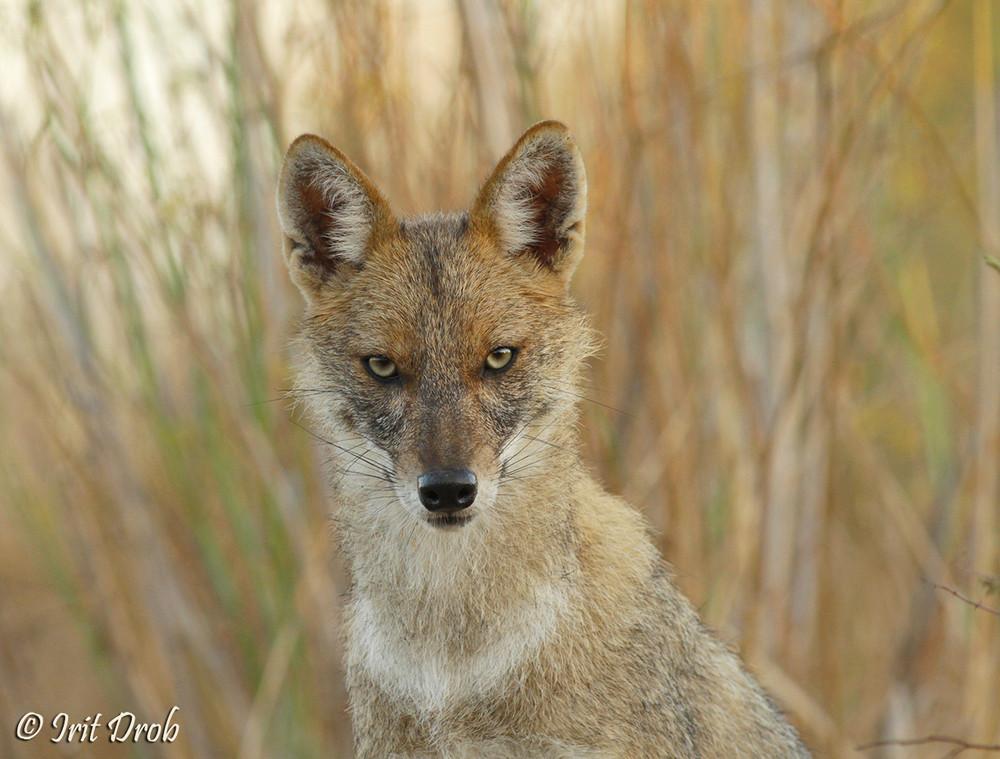 Golden jackal in a tough look