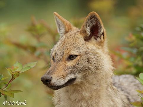 Golden jackal portrait