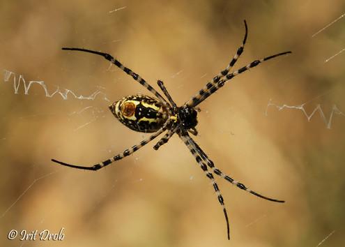 Striped silver spider