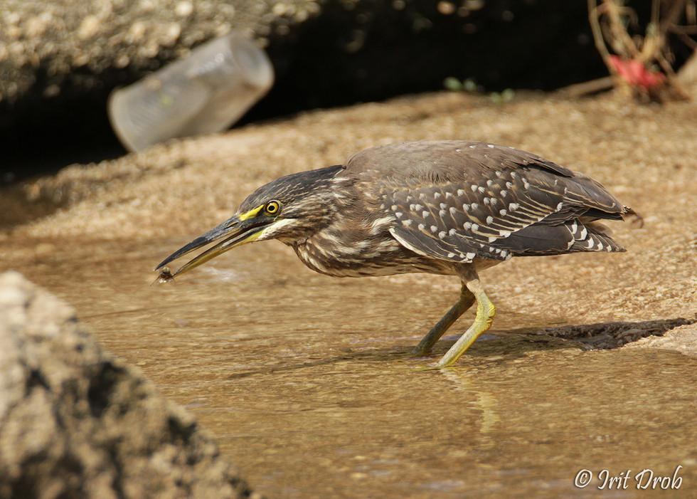 Striated Heron among waste