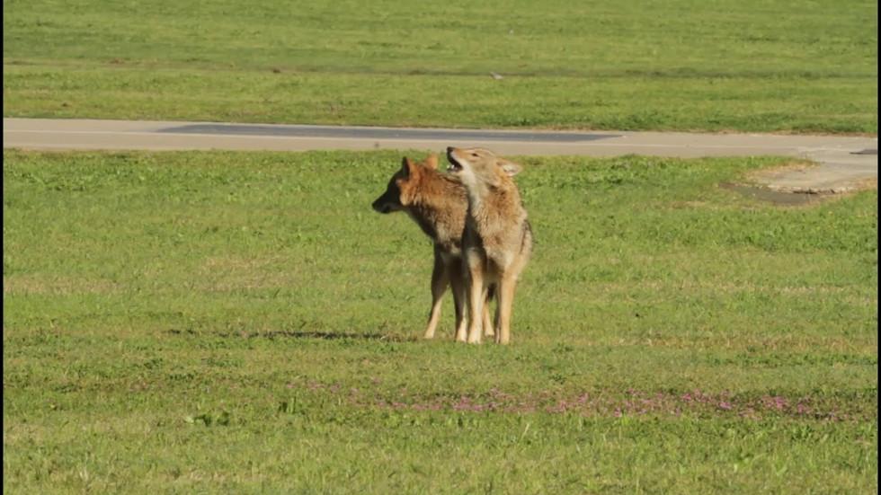 תנים בפארק הירקון בתקופת החיזור / jackals howling in Tel Aviv city- Yarkon Park