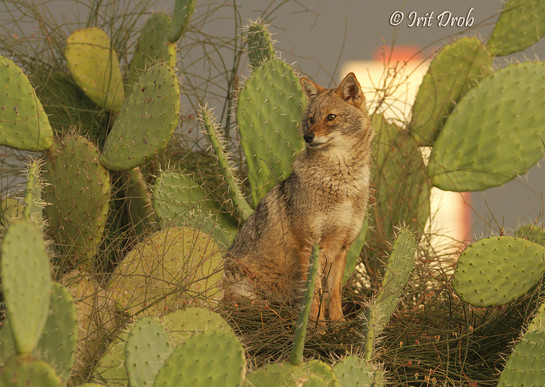 A jackal sitting on a cactus in the background of the city