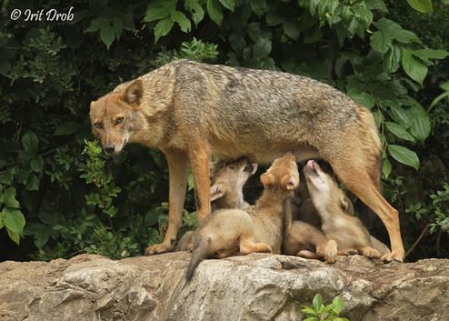 Golden jackal - cubs are nursing