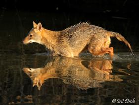 Golden jackal - reflection