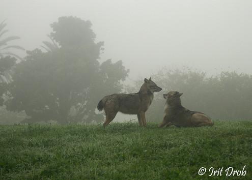 Jackals in heavy fog