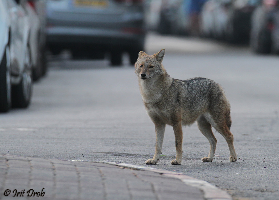 Jackal on the street between the cars