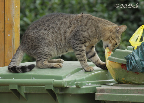 A cat eating from waste