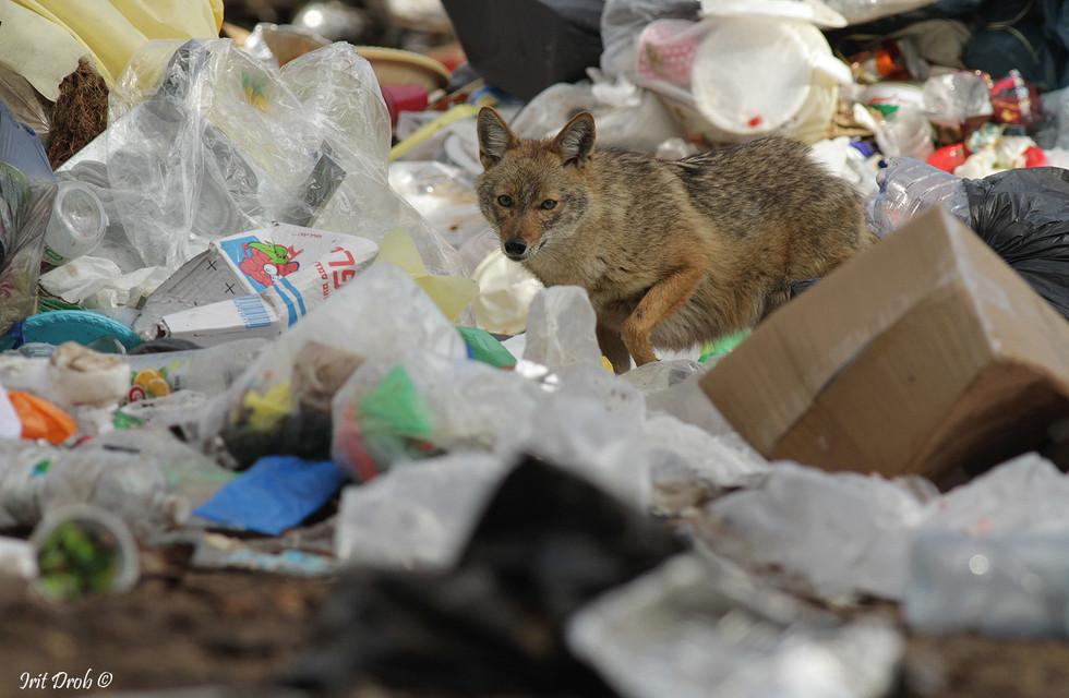 Golden jackal among waste