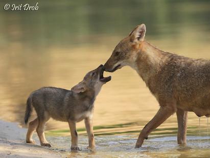 Jackals - mother & cub