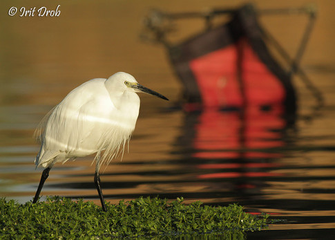 Little Egret in the background of an old chair in the river