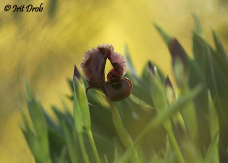 Iris (flower)