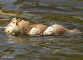 Dead fish during the pollution in the Yarkon river