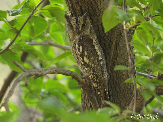 Common Scops-owl