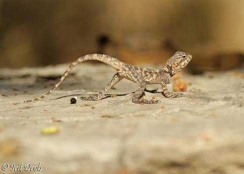 Starred agama lizard (Agama stellio)