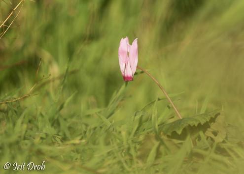 Cyclamen (flower)