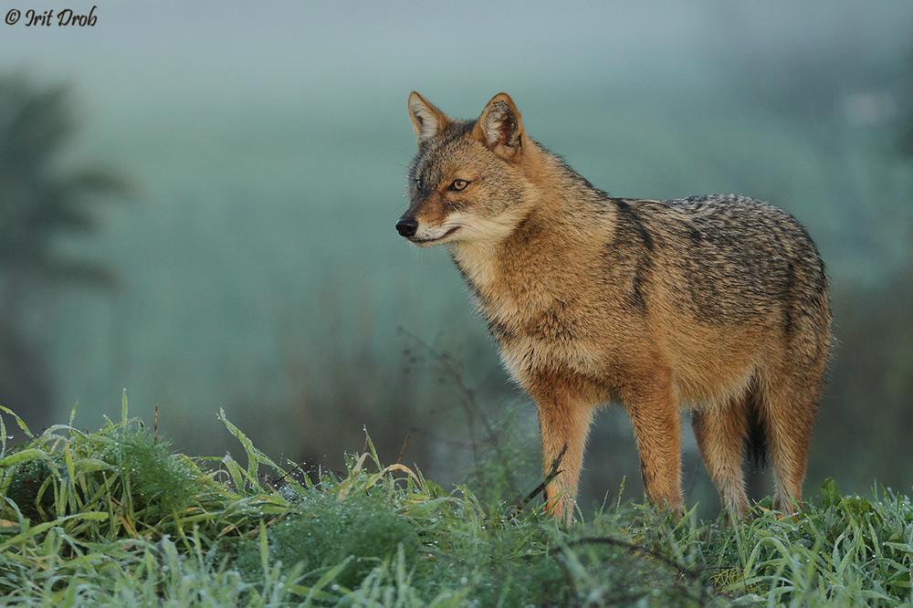 A jackal in winter furs